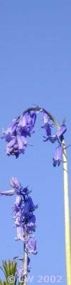 bluebells against a blue sky